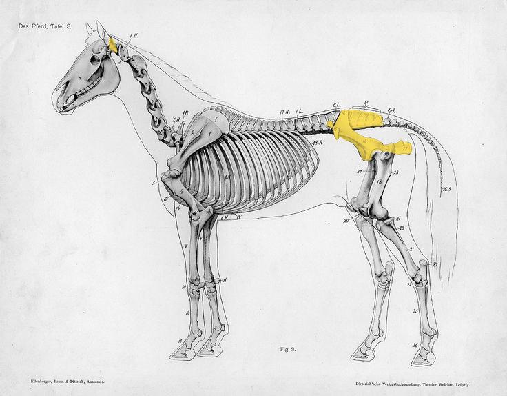 skelet van een paard met aanduiding van de gevonden delen