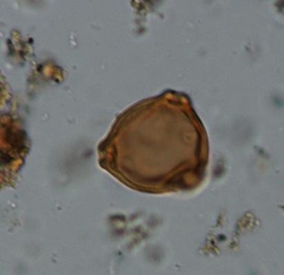 pollen berk